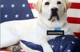 Sully le labrador de Bush